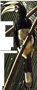 Hornbill by Asienreisender